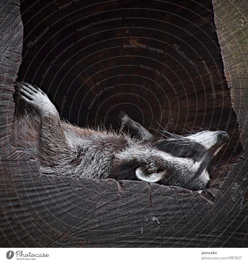 600 | träum weiter... Natur Baum Tier Wildtier 1 atmen schlafen träumen Waschbär faulenzen Behaarung Fell Brille Erholung Pfote Krallen Gesicht Schnurrbarthaare