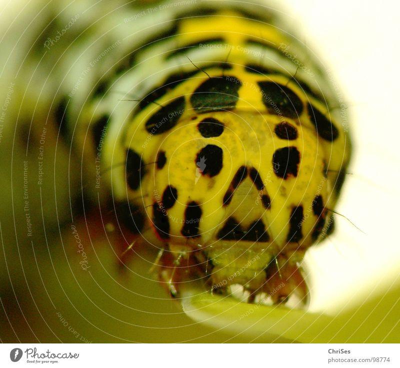 Raupe des Königskerzen Mönchs_01 gelb schwarz Insekt Tier krabbeln Schmetterling Nordwalde Makroaufnahme Nahaufnahme Auge Puppe verpuppen ChriSes
