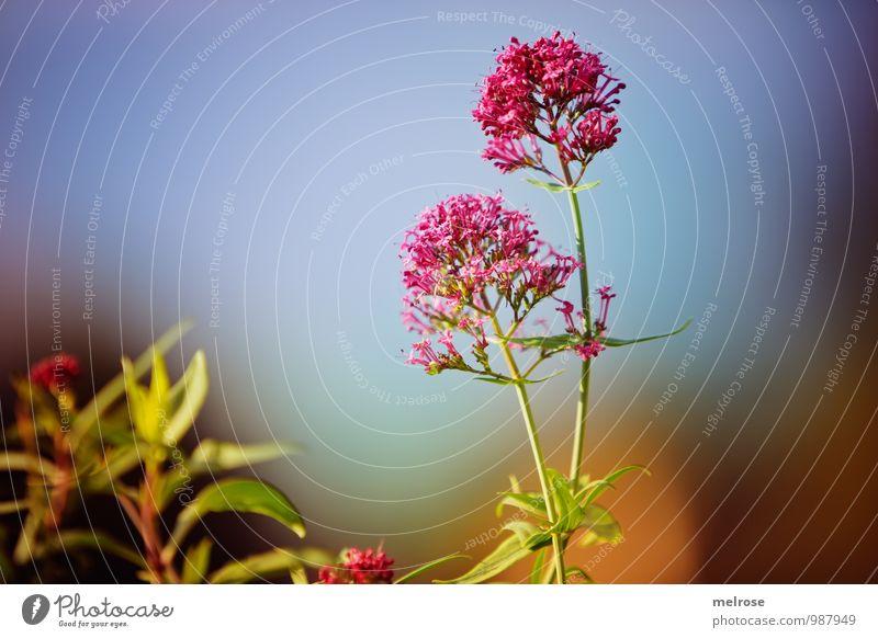 sommerllich Himmel Natur Ferien & Urlaub & Reisen blau Pflanze grün Sommer Erholung Blatt ruhig Blüte Garten braun rosa träumen Wachstum