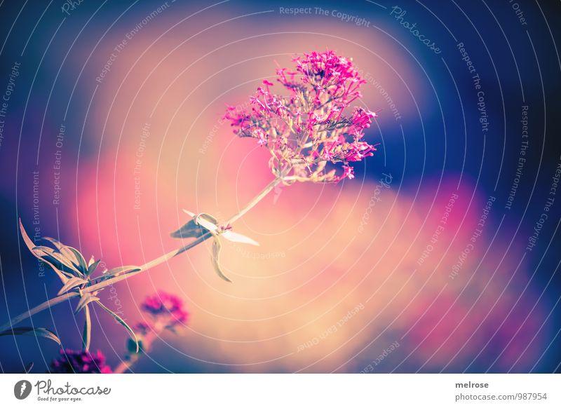 Blumenwolke harmonisch Erholung Ferien & Urlaub & Reisen Freiheit Sonne Natur Pflanze Sonnenlicht Sommer Blatt Blüte Wildpflanze Fetthenne Garten Blühend