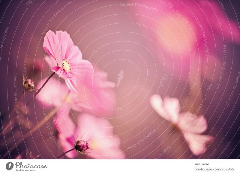 Herbsttraum Natur Pflanze schön Erholung Blume gelb Blüte Garten braun rosa träumen Wachstum elegant Zufriedenheit leuchten