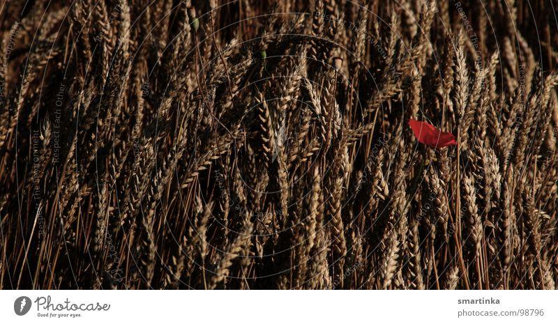 Allein / Mohn im Feld Wiese Pflanze Einsamkeit Sommer Vergänglichkeit Spätzünder Getreide Korn Verlorene Blume Blumenbild Tschuldigung ich habe mich verlaufen