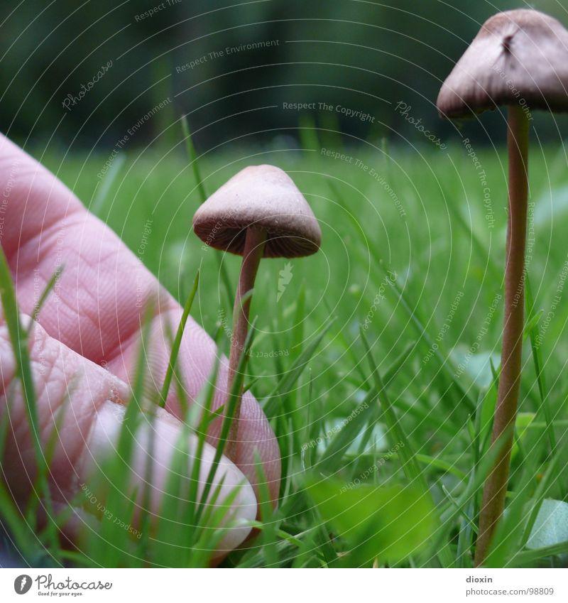 Psilocybe Semilanceata Kahlköpfe Natur Umwelt Wiese Finger Ernte Rauschmittel Pilz Sucht Abhängigkeit Drogensucht Überdosis Psilocin Spitzkegeliger Kahlkopf