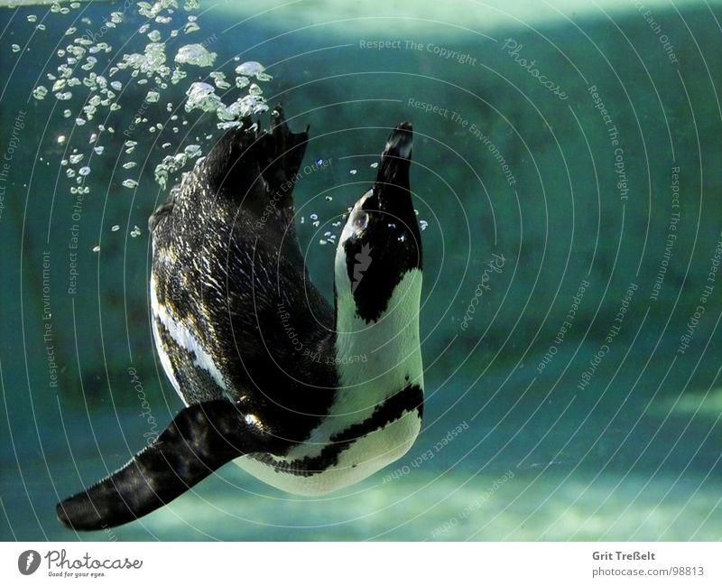 Blubb Zoo Pinguin grün Unterwasseraufnahme Vogel Wasser blasen Blubbern