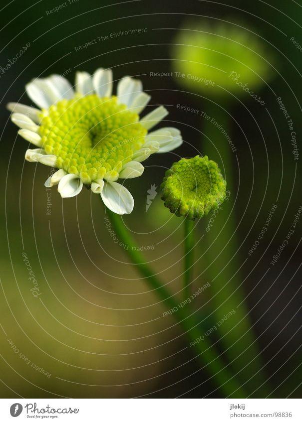Blümlies Blume Blüte Blütenblatt Wachstum Pflanze gelb weiß Korb Stengel dunkel Unschärfe 3 Frühling Jahreszeiten Margerite Wiese Gras verzweigt Lampe Natur