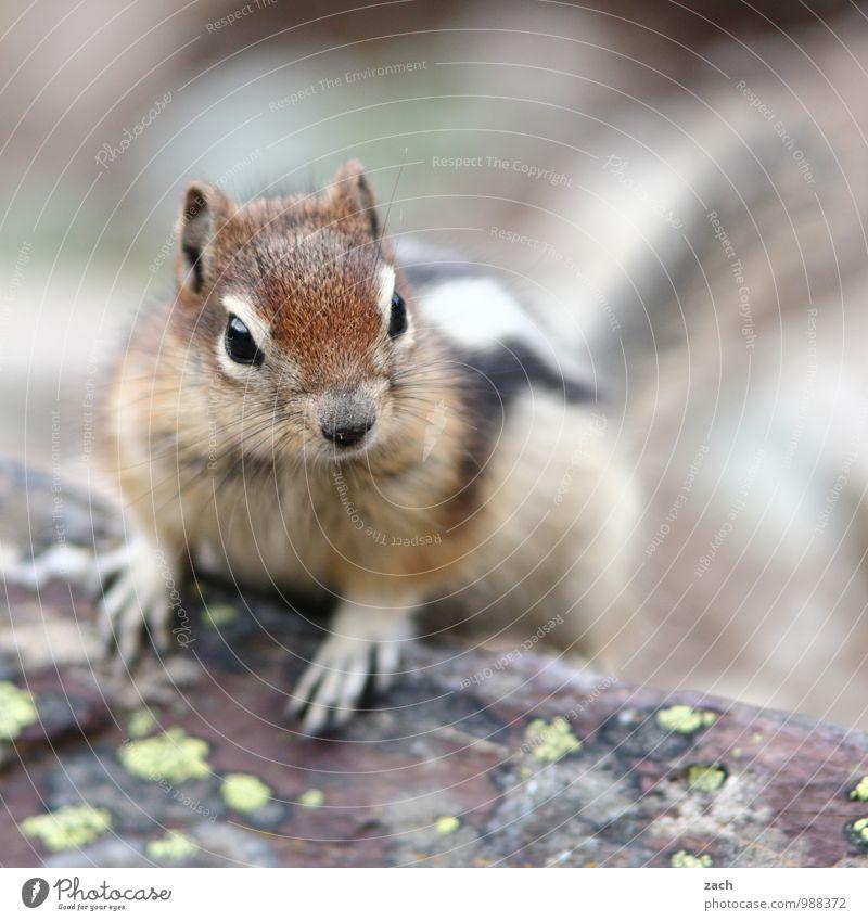 guten Morgen Baum Tier Wildtier Tiergesicht Fell Krallen Pfote Streifenhörnchen Squirrel Nagetiere Eichhörnchen 1 beobachten frech niedlich braun possierlich