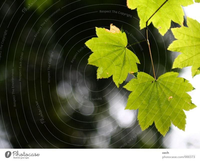 Sommergrüße Natur Sonnenlicht Frühling Pflanze Baum Blatt Grünpflanze Ahornblatt Wald Kanada Wachstum grün Farbfoto Außenaufnahme Menschenleer