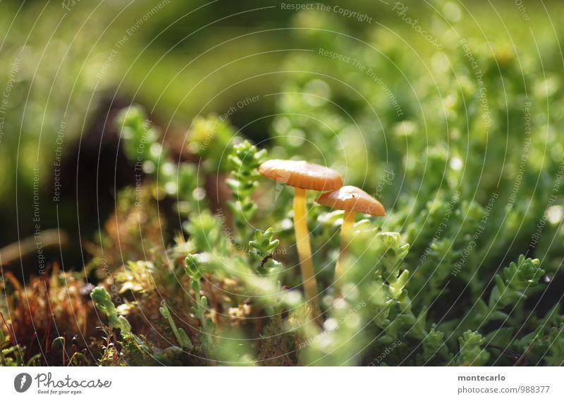 pilze Umwelt Natur Pflanze Erde Sonnenlicht Gras Moos Grünpflanze Wildpflanze Pilz dünn authentisch einfach frisch einzigartig klein nah natürlich rund saftig