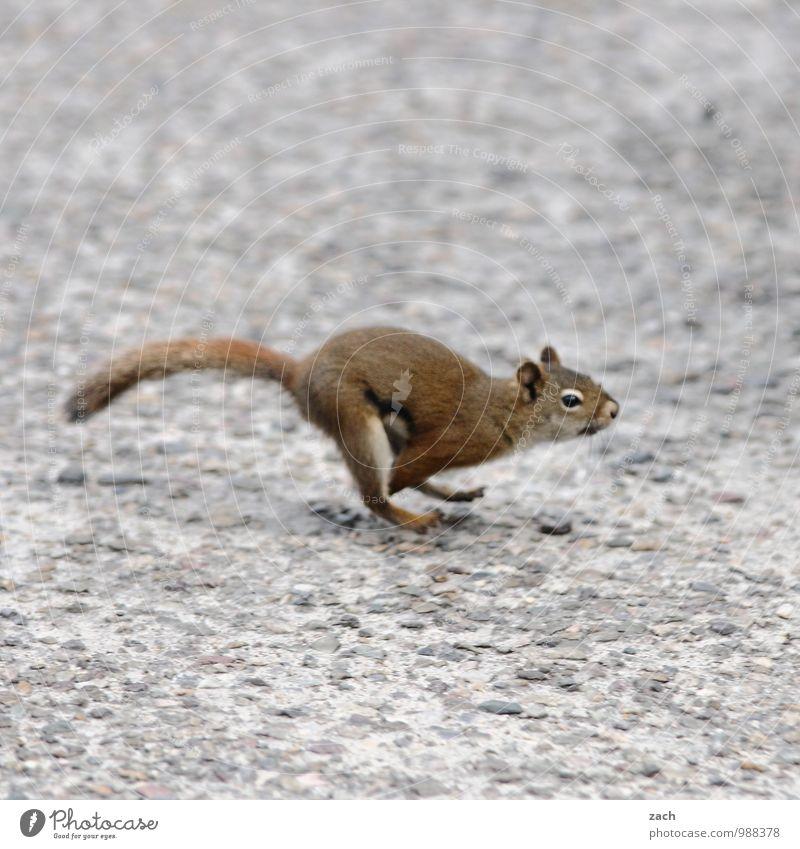 keine großen Sprünge Straße Tier Wildtier Tiergesicht Fell Eichhörnchen squirrel 1 rennen ästhetisch niedlich sportlich wild braun grau laufen flüchten Flucht