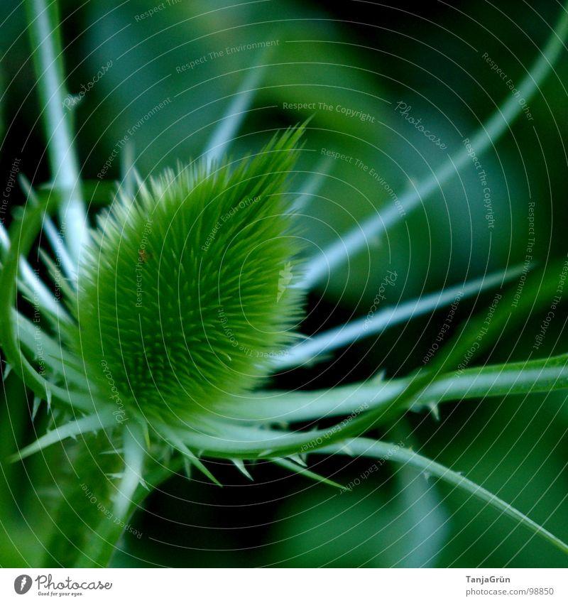 Thistle II Natur grün schön Pflanze Feld Wachstum Spitze Schmerz Stachel stechen Dorn Distel Wegrand