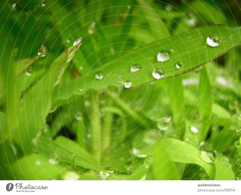 nach dem Regen Wasser grün Wiese Gras glänzend Wassertropfen frisch Tropfen Tau