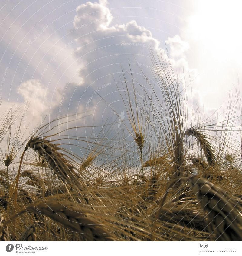 Dicke Wolken überm Feld... Himmel weiß Sonne blau Sommer gelb dunkel grau Getreide Stengel Landwirtschaft Korn Kornfeld vertikal