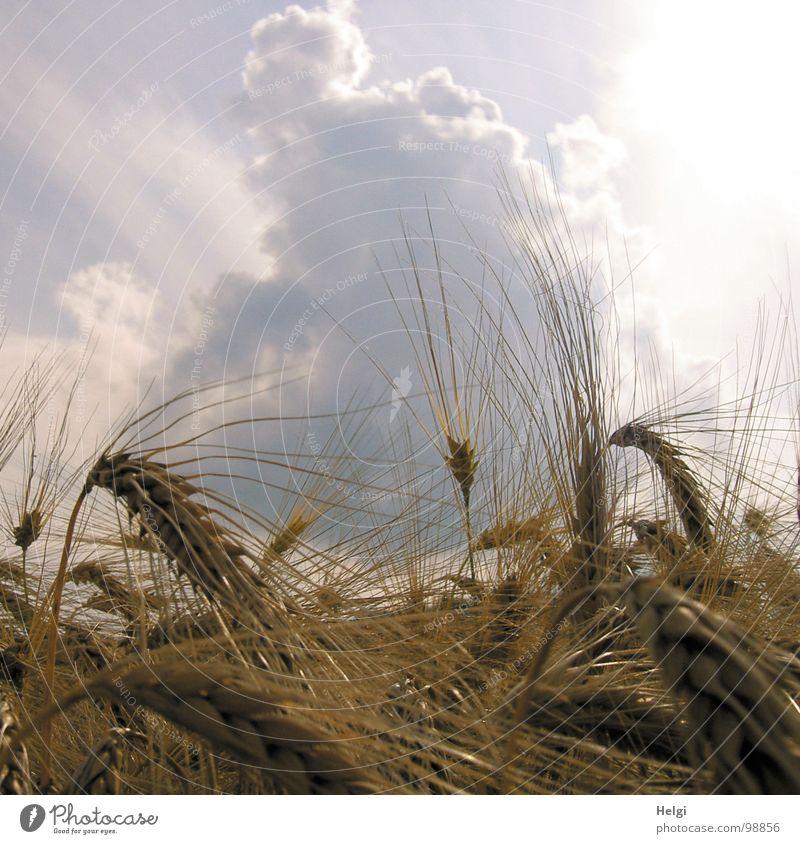 Kornähren von Gerste in einem Getreidefeld vor grauem Himmel mit dicken Wolken Regenwolken Licht Ähren Kornfeld Aussaat Feld Landwirtschaft gelb weiß Stengel