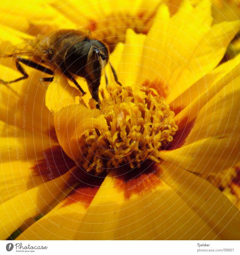 Pollenrüssel Sommer Blume Blüte Biene lecker süß braun gelb Insekt Honig Staubfäden Rüssel Nektar orange Klebrig Außenaufnahme Nahaufnahme Makroaufnahme Natur