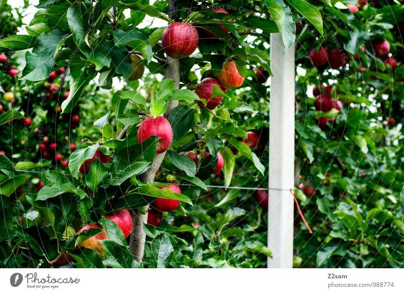 Lecker Äpfel Natur Pflanze grün Sommer Baum rot Landschaft Umwelt natürlich Gesundheit Frucht Idylle frisch Schönes Wetter Italien lecker