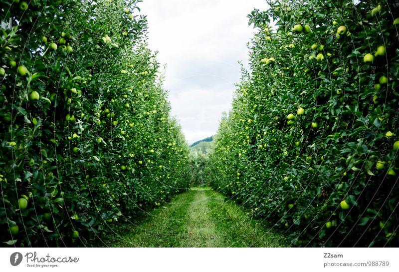 Äpfel über Äpfel Frucht Apfel Umwelt Natur Landschaft Sommer Schönes Wetter Pflanze Baum Sträucher frisch Gesundheit nachhaltig natürlich grün Erholung Idylle
