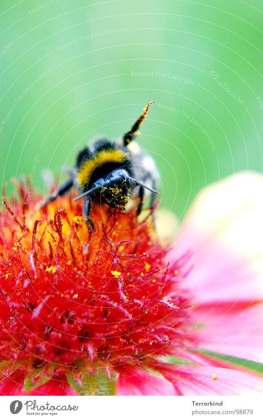Power.House Natur weiß Sommer Blume schwarz ruhig gelb Blüte rosa fliegen Flügel weich dick Fett Turnen Hummel
