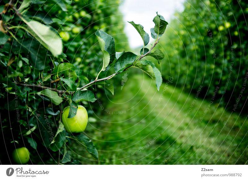 Südtiroler Äpfel Lebensmittel Frucht Apfel Umwelt Natur Landschaft Sommer Schönes Wetter Pflanze Sträucher frisch Gesundheit natürlich Idylle nachhaltig