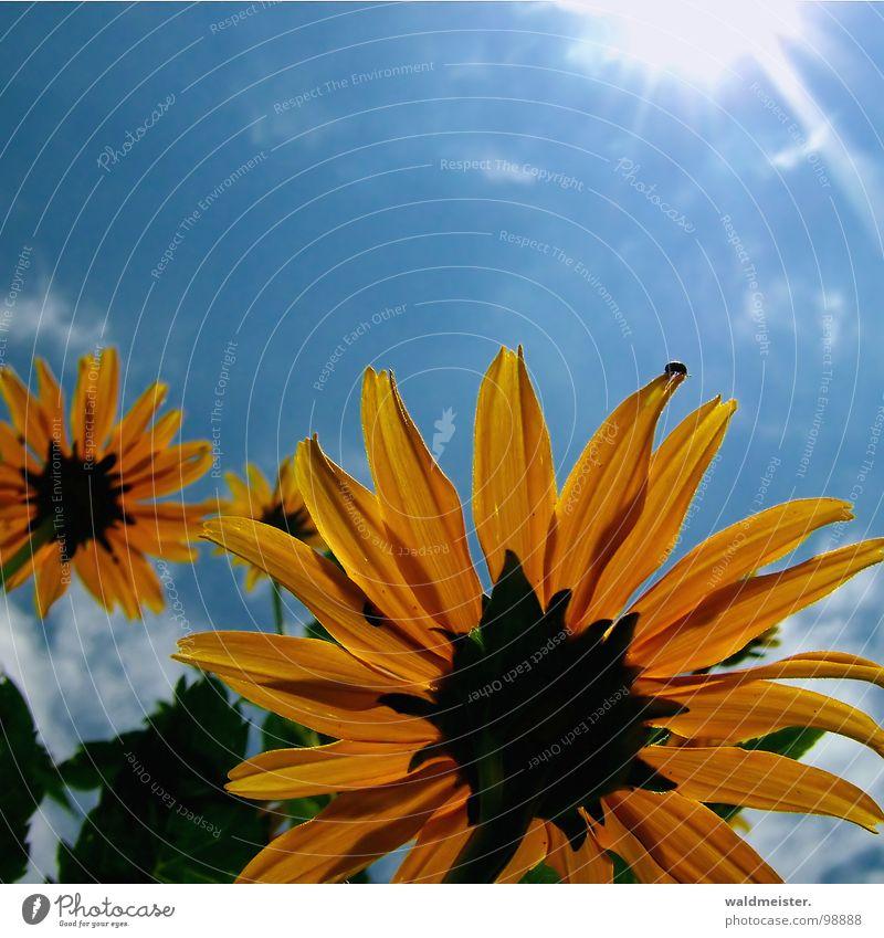 Der Sonne entgegen II Blume Blüte Garten Himmel Gegenlicht Sommer Sonnenstrahlen aufwärts gelb blau grün Photosythese