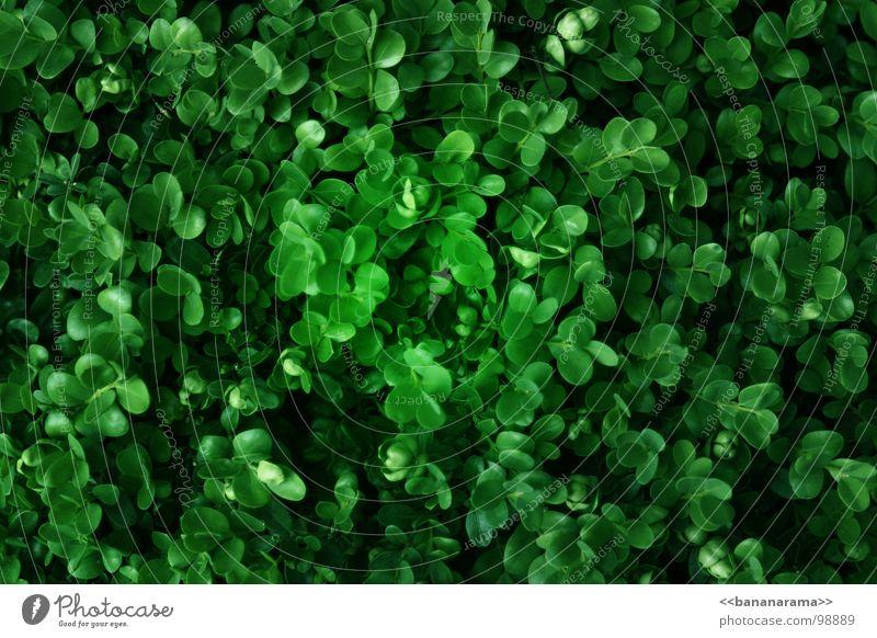 Buchs Natur grün Pflanze Wiese Gras Garten Park Rasen Sträucher Bioprodukte