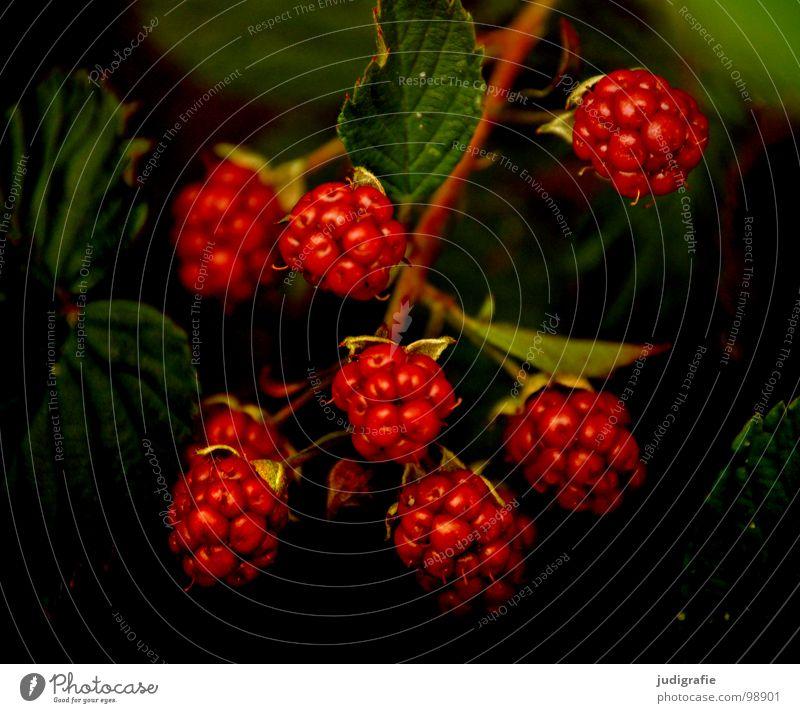 Brombeeren rot unreif Sommer Sträucher lecker Kletterpflanzen Rosengewächse Vitamin stachelig Pflanze Farbe Vegetarische Ernährung rubus fruticosus agg.