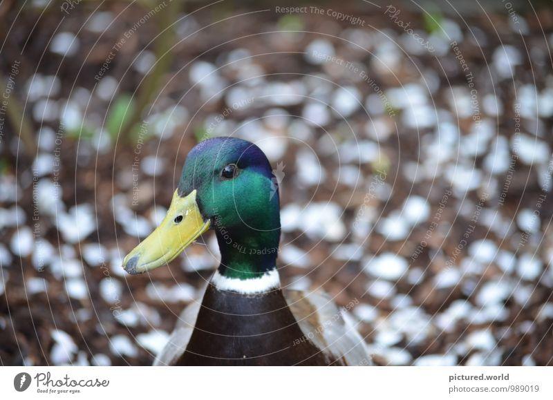 Ente gut, alles gut Natur Pflanze grün weiß Tier gelb Frühling braun Vogel elegant Erde Zufriedenheit Wildtier genießen Frieden Vertrauen