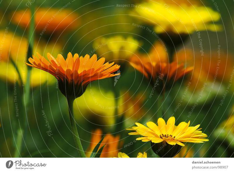 Ringelblumen Natur Blume grün Sommer gelb Blüte Garten orange Kosmetik ökologisch Ringelblume Heilpflanzen
