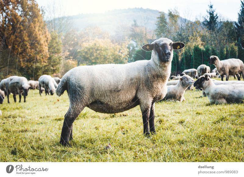 Mäh. Umwelt Natur Landschaft Herbst Schönes Wetter Wiese Feld Wald Tier Nutztier Schaf Tiergruppe Herde beobachten Fressen hören Gesundheit natürlich Neugier