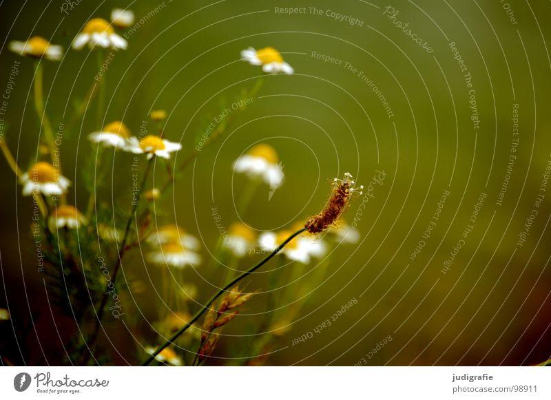 Spitzwegerich vor Kamille Heilpflanzen Pflanze Heide Blüte Blume Stengel rot braun schwarz Sommer Umwelt Wachstum gedeihen Wiese schön Gesundheit Wildtier Natur