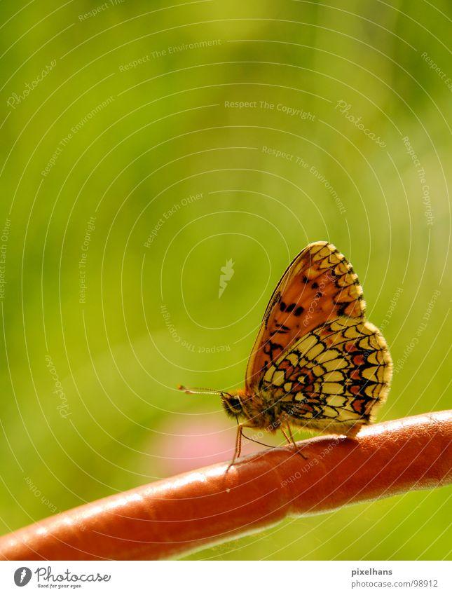 butterfly effect Natur schön grün Sommer hell orange ästhetisch Flügel Insekt Schmetterling Fühler filigran Punktmuster