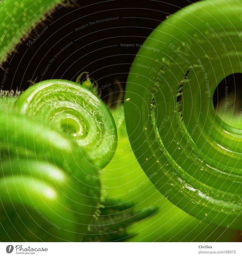 Aufgerollt 03 Kürbis grün Pflanze schwarz Spirale Blütenknospen Botanik Rolle Ranke Schlaufe Kletterpflanzen zartes Grün
