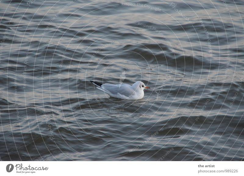 Möwe schwimmt Wasser Tier Möwenvögel Schwimmen & Baden Mittelpunkt Farbfoto Außenaufnahme