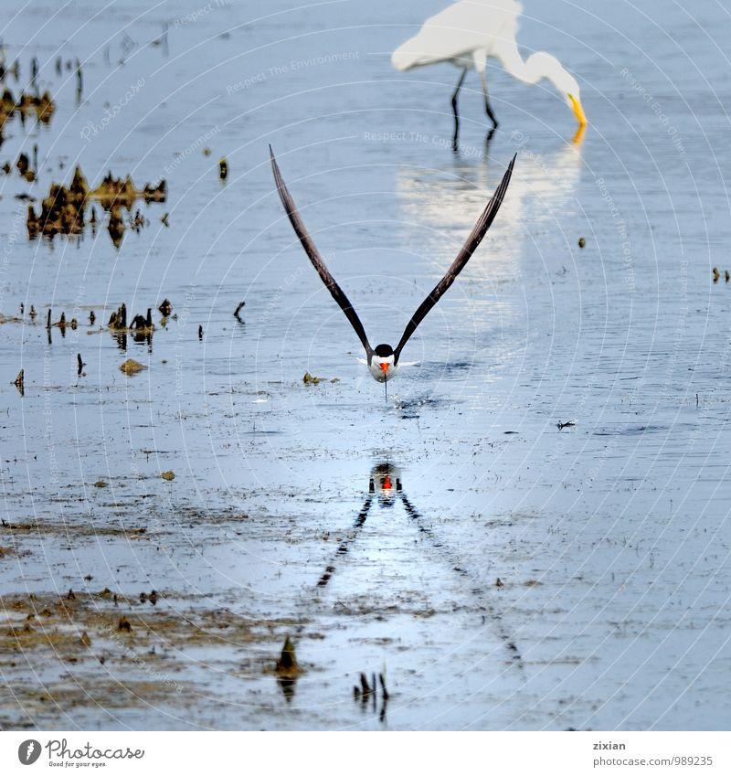 schwarzer Abschäumer Tier Wildtier Vogel Fliege 2 Leder Wasser Bewegung Essen fangen fliegen gehen Jagd kämpfen elegant schön natürlich dünn Geschwindigkeit