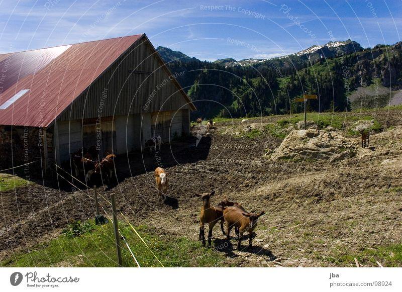 uf de Alpe oobe ischs nes Herrlechs lääbe! Berge u. Gebirge Alm steil Wiese Gras Tanne Stall Scheune abgelegen schön Ziegen Kalb wandern Fußweg Dach Rückseite