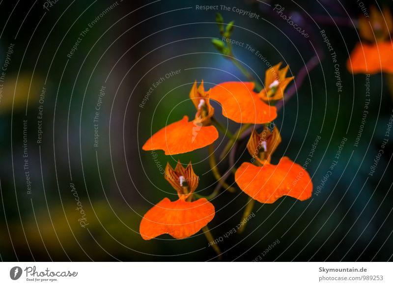 Comparettia speciosa Orchid Natur Pflanze schön Blume Freude Umwelt gelb Gefühle Blüte natürlich Glück außergewöhnlich träumen orange Wachstum Zufriedenheit