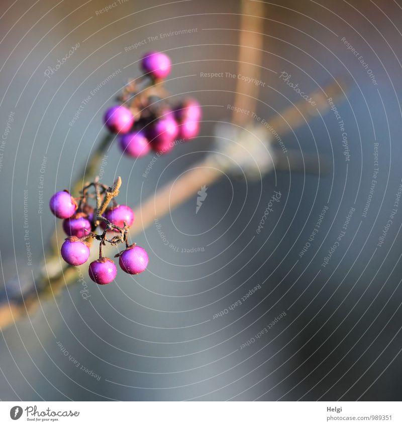 Liebesperlen... Natur blau Pflanze schön Umwelt Herbst natürlich grau klein außergewöhnlich braun Park Wachstum Sträucher ästhetisch einfach