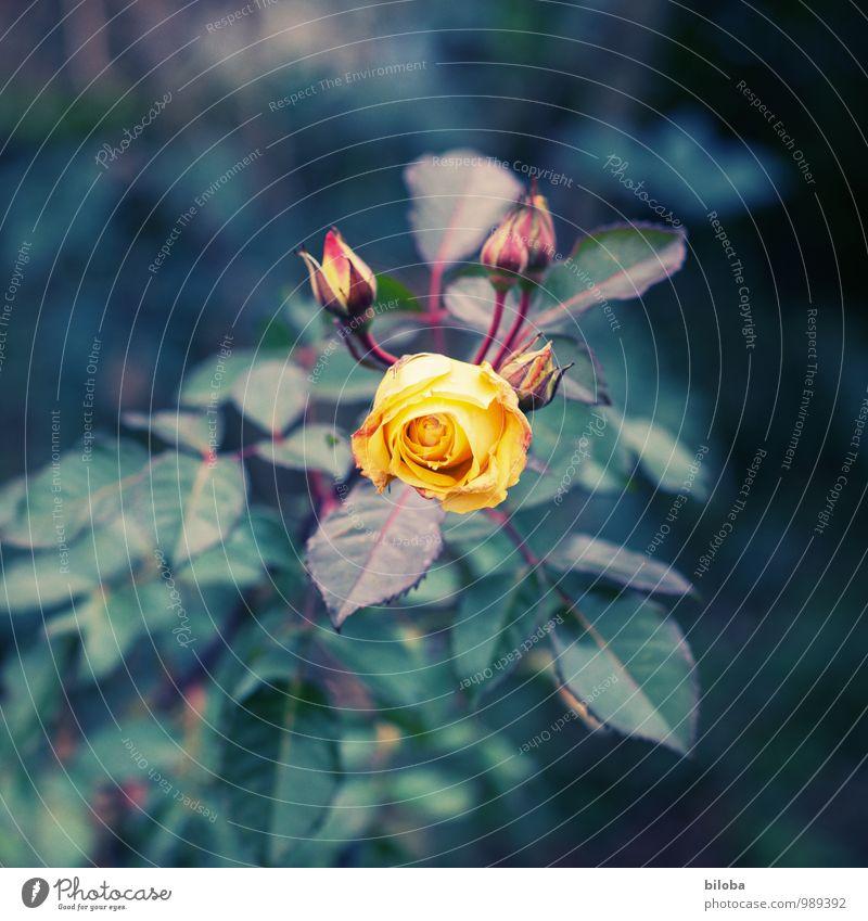 The Rose Natur Pflanze Blatt Blüte Garten Park gelb grün orange Farbfoto Außenaufnahme Menschenleer Schwache Tiefenschärfe