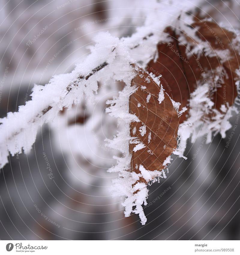 Eisige Zeiten: Blätter mit Eiskristallen Umwelt Natur Pflanze Tier Wasser Winter Frost Schnee Schneefall Baum Sträucher Blatt Grünpflanze Wald alt frieren
