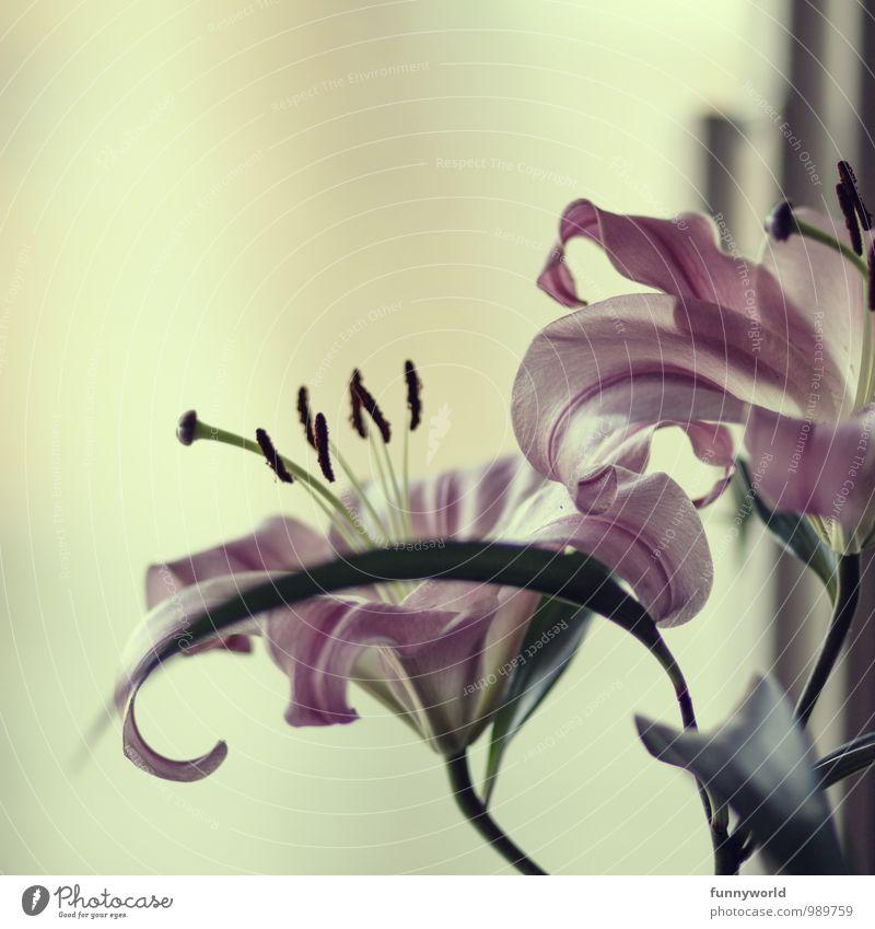 Lilium Doppel Pflanze schön Blume Blatt Blüte Frühling rosa groß ästhetisch zart Blumenstrauß Stillleben Blütenblatt Pollen Stempel Frühlingsgefühle