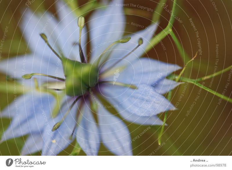 Blauer Stern Blume Blüte Blühend blau grün hell-blau himmelblau Stempel Stern (Symbol) Farbfoto