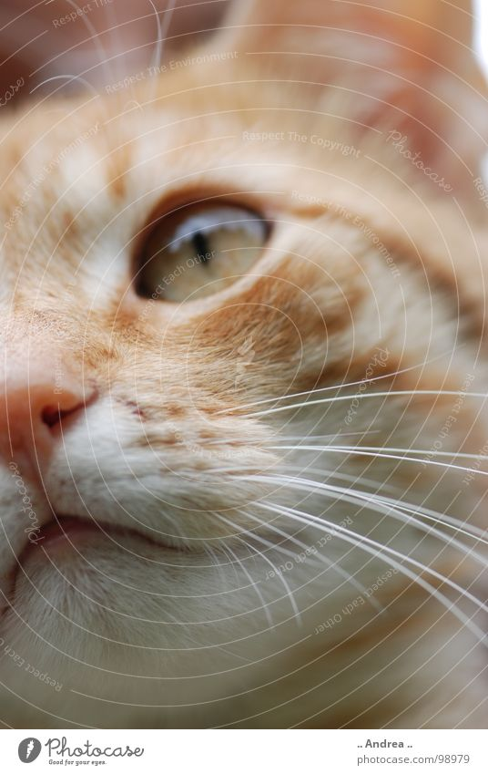 Red Tiger 2 Auge Nase Katze rot Schnurrhaar Säugetier Hauskatze Katzenauge getigert cat Farbfoto