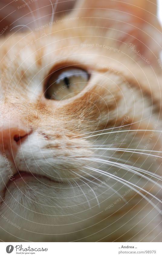 Red Tiger 2 Katze rot Auge Nase Säugetier Hauskatze Schnurrhaar Katzenauge