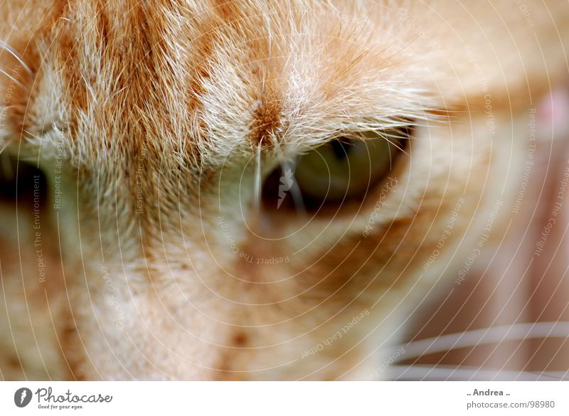 Red Tiger 3 Auge Katze rot Säugetier cat getigert Hauskatze Katzenauge Farbfoto