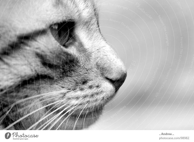Tigi im Profil Nase Mund Katze sitzen Schnurrhaar Säugetier Katzenauge getigert Cat Schwarzweißfoto Silhouette