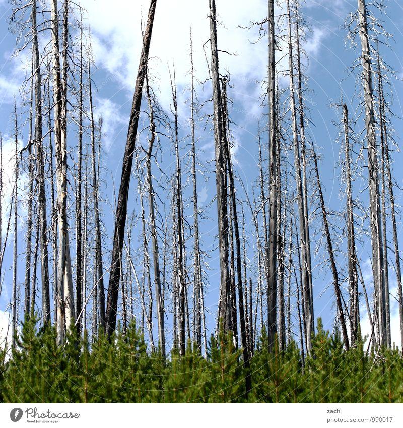 abgebrannt Natur Feuer Himmel Wolken Sommer Herbst Schönes Wetter Dürre Pflanze Baum Wald Waldsterben Nadelbaum Nadelwald Urwald dehydrieren blau Angst