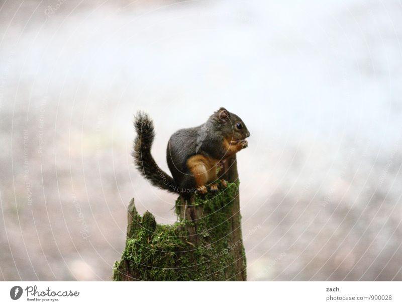 Poser Baum Tier grau Holz braun Wildtier sitzen niedlich Baumstamm Fell Moos Fressen Pfote füttern Schwanz Eichhörnchen