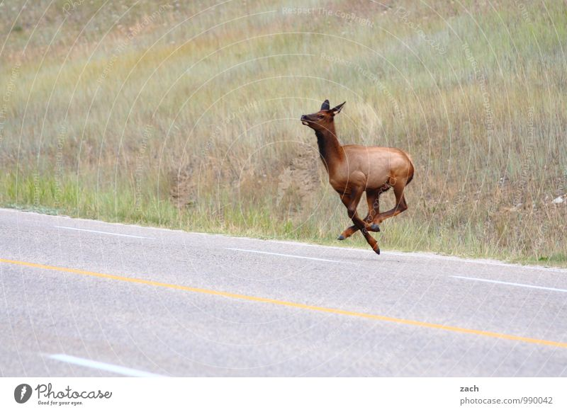 400   Luftsprünge Ferne Gras Wiese Hügel Berge u. Gebirge Rocky Mountains Kanada Nordamerika Straße Wege & Pfade Tier Fell Paarhufer Reh Wapiti-Hirsche Elk 1