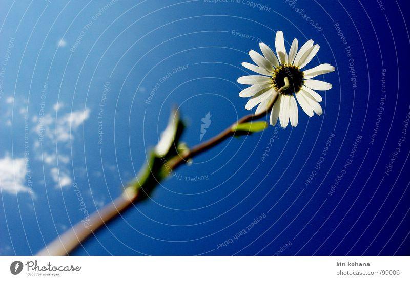 stolz Himmel weiß Blume blau Wolken Leben Blüte hell Kraft aufwärts diagonal Stolz vertikal Margerite Blütenblatt