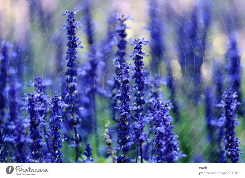 natürlich | blau Natur Pflanze Frühling Sommer Blume Gras Sträucher Blatt Blüte Garten Park Wiese Blühend Wachstum violett Farbfoto Außenaufnahme Menschenleer