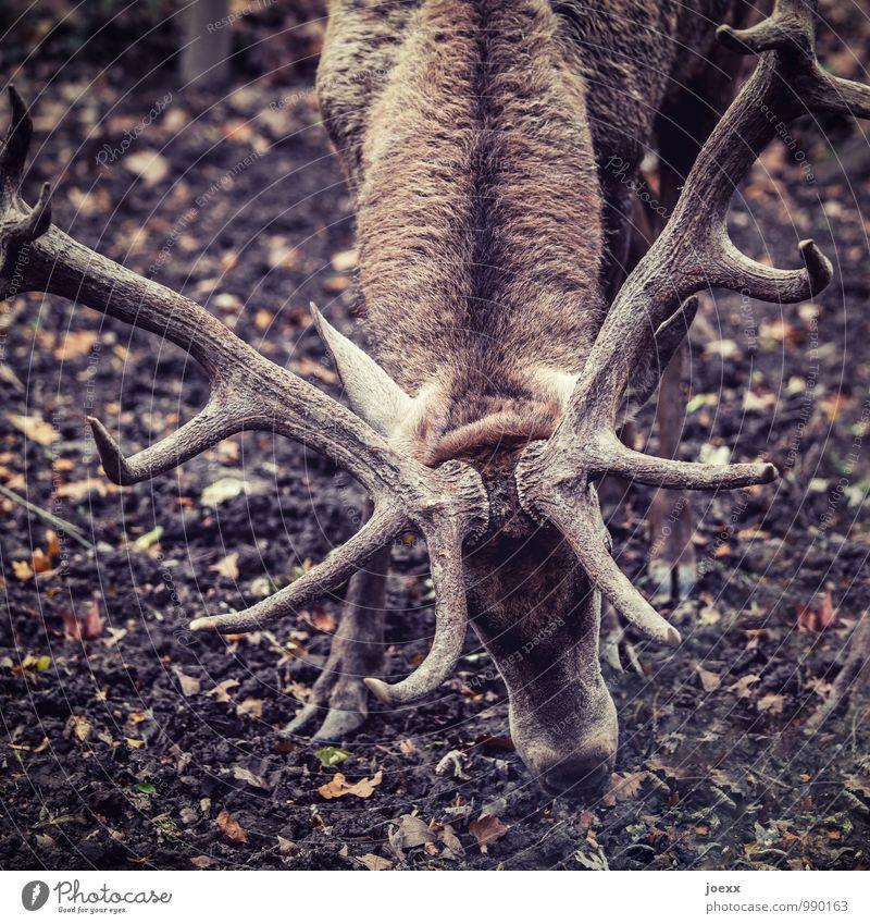 Angeber Wildtier Hirsche 1 Tier kämpfen stehen Aggression braun Kraft angriffslustig Gedeckte Farben Außenaufnahme Menschenleer Tag Kontrast Tierporträt
